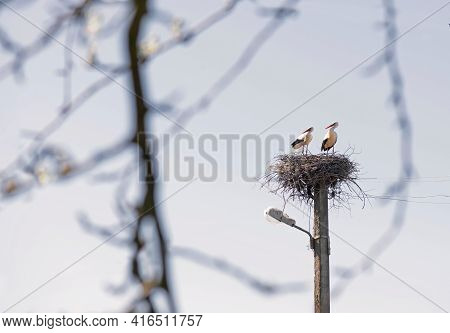 The White Storks By Nest- Building. Spring