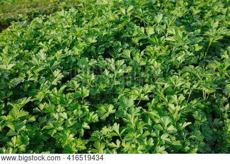 Green Parsley Field. Fresh Green Parsley Leaves.