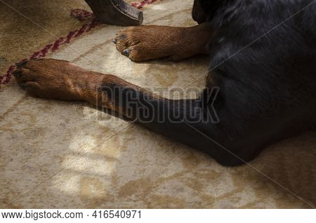 Close-up Of A Rottweiler's Front Paws On The Carpet. Adult Male Dog Lying Inside The Apartment. Sunb