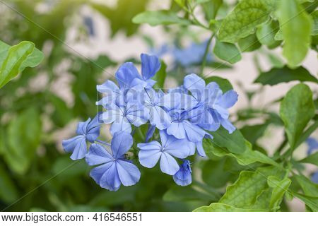 Beautiful Blue Cape Leadwort Or White Plumbago With Sunlight In The Garden  On Blur Nature Backgroun
