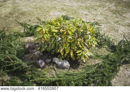 Unwrapped Rhododendron After Winter And Elm Branches Around