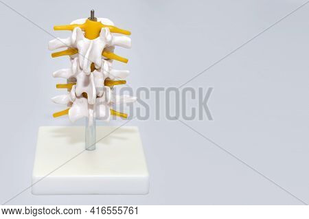 Human Spine Plastic Model For Surgery In Clinic. Anatomical Models Of Joints And Nerves. Part Of Art