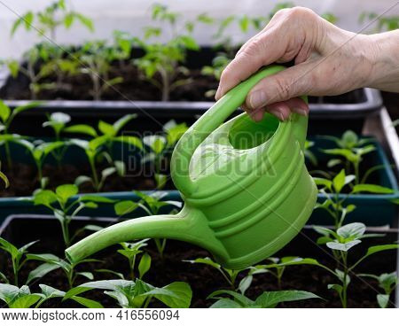 Growing And Watering Tomato Seedlings In Plastic Pots With Soil On The Balcony. The Grandmother On T