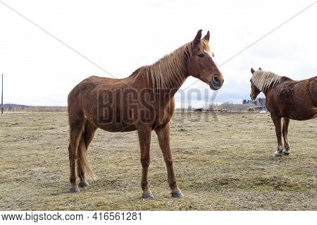 Domestic Horses Graze On A Horse Farm. Red Horse. Agriculture Image.