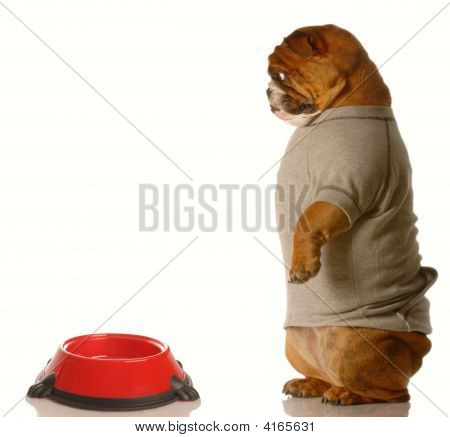 english bulldog looking down at empty dog food dish poster