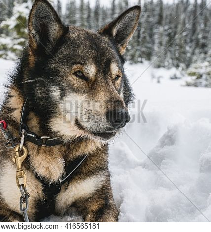 Close Up Of A Alaskan Husky Sled Dog Resting In The Snow.