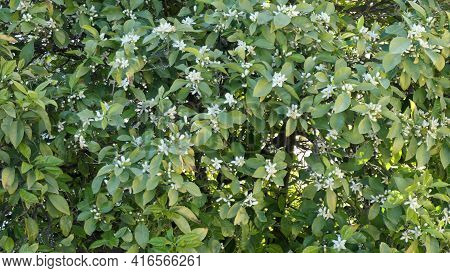 Large Display Of Orange Blossoms With Green Leaf On The Tree In Andalusian Winter Sunshine