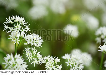 Beautiful White Flowers Of Allium Ursinum Or More Commonly Known As Wild Garlic Or Ramson