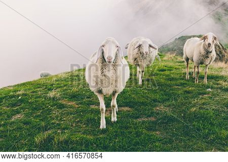 Herd Of Sheeps Grazing In Spectacular Scenery Foggy Autumn Mountain Slope. Portrait Of Cute Furry An