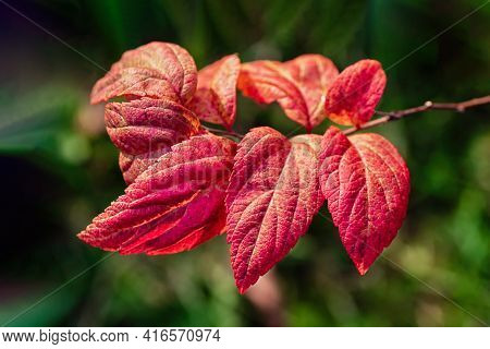 Bright Red Leaves On A Green Background. Beautiful Autumn Background. Spiraea Japonica Close-up.