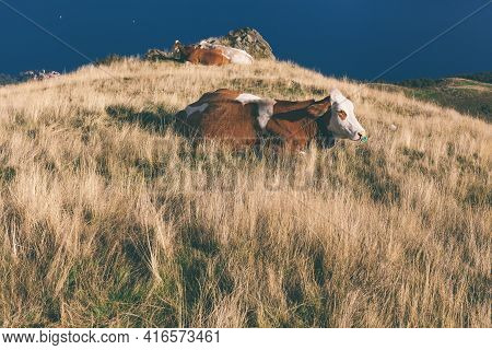 Cow On Mountain Pasture In The Alps Cattle Mammal On A Background Mountain Valley. Cows Grazing On T