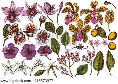 Vector Set Of Hand Drawn Colored Laelia, Feijoa Flowers, Glory Bush, Papilio Torquatus, Cinchona, Ca
