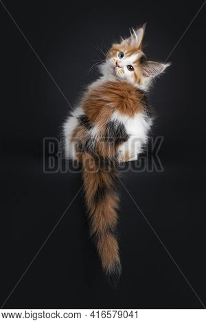 Beautiful Marked Odd Eyed Maine Coon Cat Kitten, Sitting Backwards On Edge. Looking Over Shoulder To