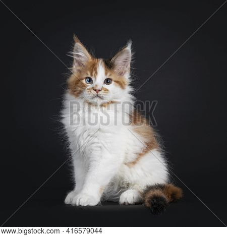Beautiful Marked Odd Eyed Maine Coon Cat Kitten, Sitting Up Straight Facing Camera. Looking Towards