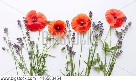 Flower Red Poppies And Buds Papaver Rhoeas, Common Names: Corn Poppy, Corn Rose, Field Poppy, Red We