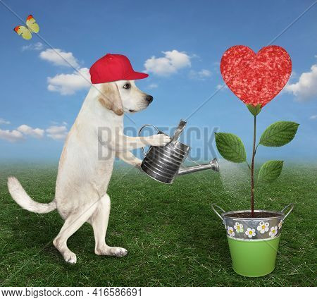 A Dog Labrador Gardener In Red Cap Is Watering A Sausage Flower That Growing In A Metal Pail In The