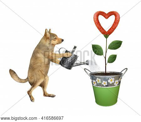 A Beige Dog Gardener Is Watering A Sausage Flower That Growing In A Metal Pail. White Background. Is