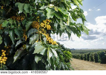 View Farm With Coffee Plantation. Agribusiness. Coffee Crop With Yellow Grains, Green Foliage And Bl