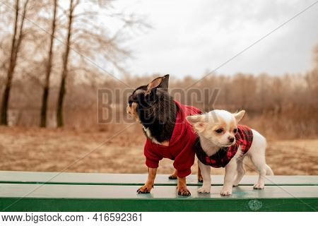Two Little Chihuahua Dogs On Bench. Cute Domestic Pets Outdoors. Chihuahua Dogs On Bench In Clothes.