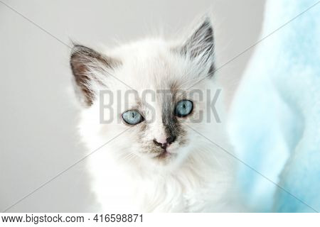 Cute White Kitten With Blue Eyes Portrait. Cat Kid Animal With Interested, Question Facial Face Expr
