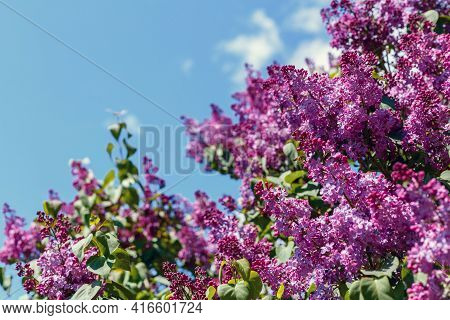 Spring Blooming Flowers Of Lilac On Lilac Bushes Against The Blue Sky. Natural Background Blooming L