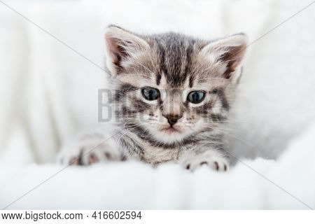 Grey Tabby Fluffy Kitten Hiding Behind Blanket On Couch. Playful Cat Resting On Soft White Blanket A