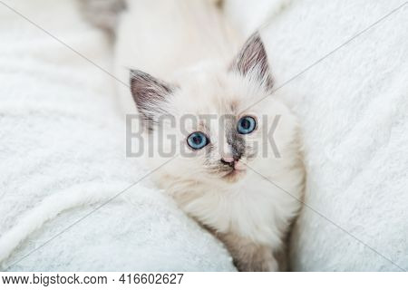 White Fluffy Kitten Lies On Couch. Playful Cat With Blue Eyes Is Resting On Soft White Blanket At Ho