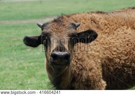 Bison Calf. The American Bison Or Simply Bison (bison Bison), Also Commonly Known As The American Bu