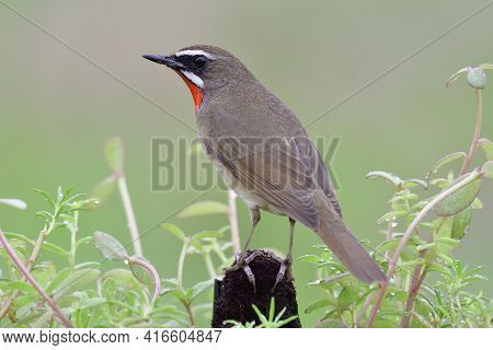 Back View Of Brown Bird With Velvet Red Feathers On Its Chin, Siberian Rubythroat (luscinia Calliope