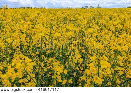 Yellow Flowers Of A Rapeseed Field In The Sunshine. Landscape In Summer. Oilseed Rape (brassica Napu