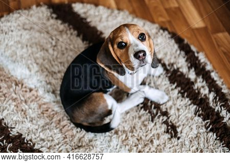 Puppy Diseases, Common Illnesses To Watch For In Puppies. Sick Beagle Puppy Is Lying On Dog Bed On T