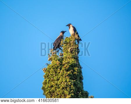 Two Crows Sitting Opposite Side Above The Cypress Tree And Green Cypress Closeup View. Two Crows Are
