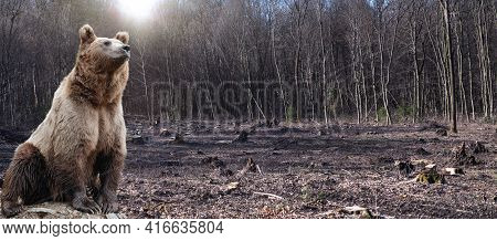 Large Male Bear Stands In The Middle Of A Felled Forest. Wildlife Scene