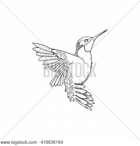 Humming Bird Hand Drawn Line Art Vector