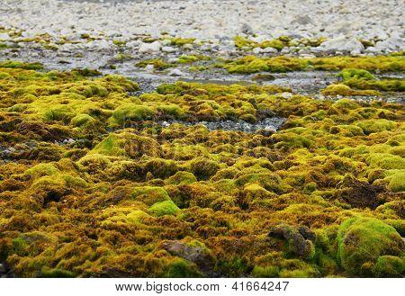 Green moss growing at Spitsbergen (Svalbard)
