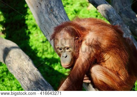 Portrait Of A Female Orangutan Ape. This Amazing Endangered Creature Can Only Be Found In The Rainfo
