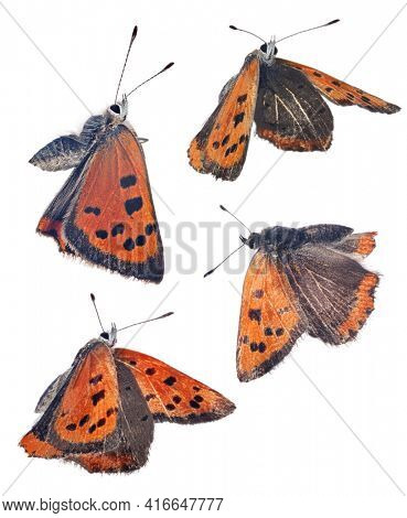 Large copper butterflies isolated on white background
