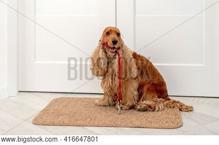 English cocker spaniel dog holding red leash and waiting for walk while sitting near door at home