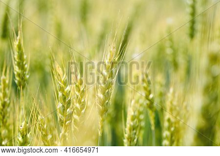 Green Wheat Field Macro. Fresh Young Unripe Juicy Spikelets Of Wheat Close-up. Oats, Rye, Barley, Ha