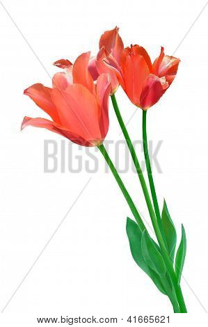 Bouquet Of Light-red Tulip Isolated On White