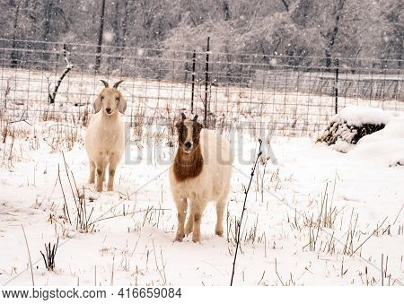 Two Inquisitive Goats Stand Motionless On The Snow Covered Ground As Snowflakes Fall All Round Them