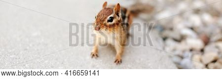 Cute Small Red Brown Chipmunk Looking At Camera. Yellow Ground Squirrel Chipmunk Tamias Striatus In