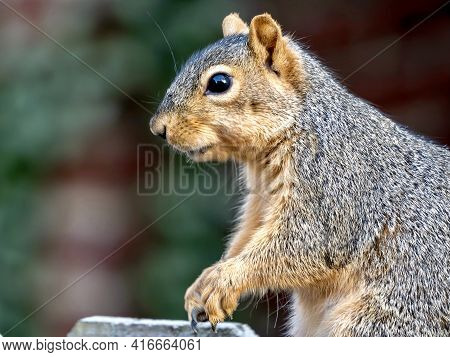 A Squirrel, Rodent, Mammal Perched Sitting On A Fence, Or Gripping The Fence, Eating Seeds And Nuts,