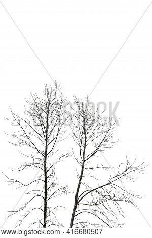 Dead Tree Isolated On White Background. Big Tree.