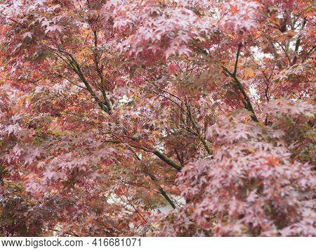 Maple Acer Tree