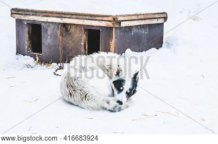 Sleeping Alaskan Husky Sled Dog, Resting In The Snow.