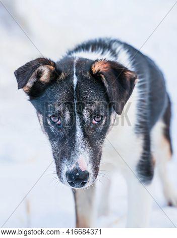 Close Up Of A Sad Looking Alaskan Husky Puppy.