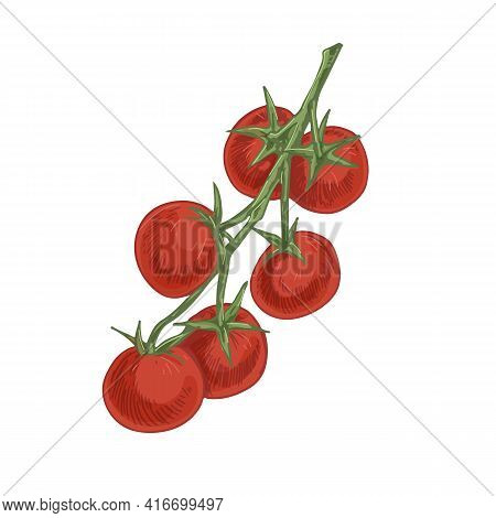 Branch Of Small Cherry Tomatoes. Bunch Of Fresh Ripe Vegetables Growing On Stalk. Twig Of Red Ripene