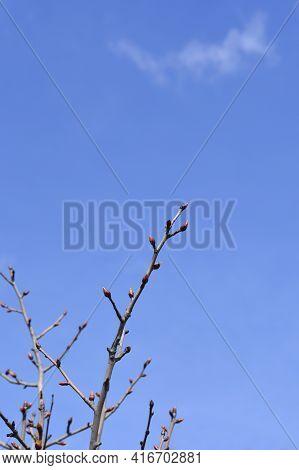 Handkerchief Tree Branches With Buds Against Blue Sky - Latin Name - Davidia Involucrata Var. Vilmor