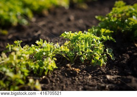 Parsley Grows In The Garden In The Garden Bed. Green Juicy Leaves In Bright Sunlight. Background Of